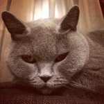 Кошка Амели
