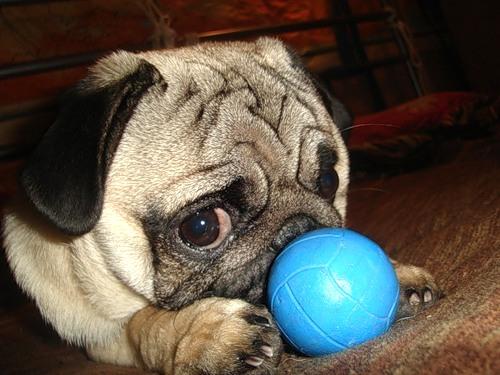 Стрижка собак на дому - достаточно распространенная процедура, оказываемая мастерами груминг салона. Здесь стоит внимательно отнестись к выбору грумера