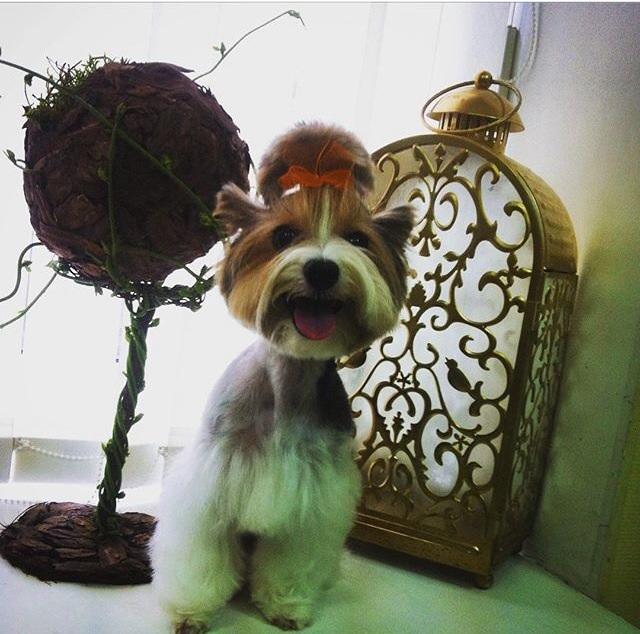 Стрижка йорка может почеркнуть, что собачка - настоящая личность! Элегантность йоркам всегда к лицу!