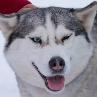 Стрижка хаски - процедура не обязательная, однако даже при выставочном груминге некоторые владельцы собаки предпочитают состригать лишнюю шерсть