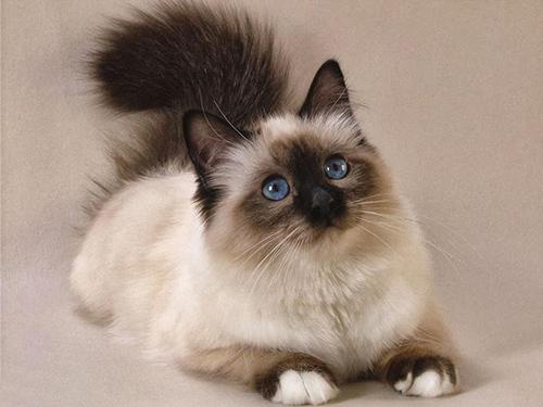 Стрижка персидских кошек подразумевает знания экстерьера породы
