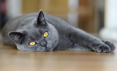 Стрижку британских кошек и котов лучше доверить профессиональным грумерам