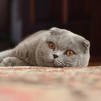 Стрижка шотландских вислоухих кошек