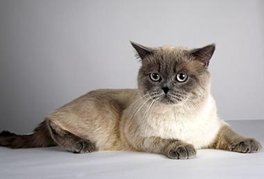 Груминг британских кошек включает обячные процедуры ухода за шерстью, когтями, ушами, глазами и зубами