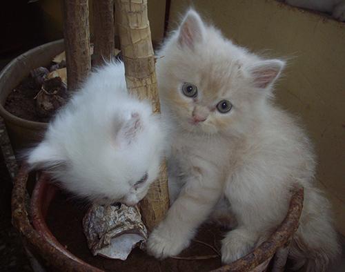 Стрижка персидских кошек: нужно приучать котенка к уходу