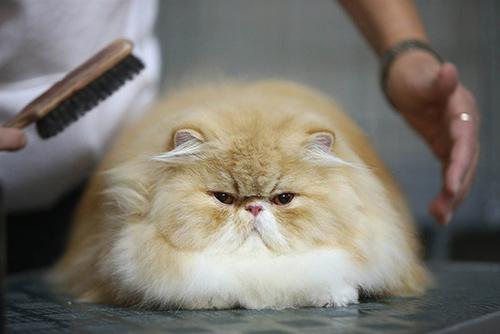Груминг персидских кошек - это комплекс услуг, и, прежде всего, уход за шерстью