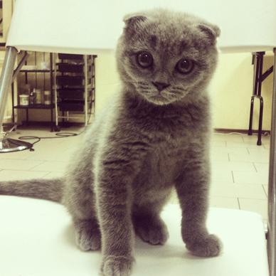 Стрижка кошек - процедура достаточно распространенная. Однако следует знать, что в домашних условиях стричь кошке шерсть и когти следует очень осторожно. Надежнее доверить стрижку кошек мастеру-профессионалу, обратившись в салон или вызвав его на дом