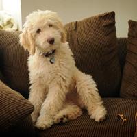 Стрижка лабрадудля должна сохранить естественный вид собаки