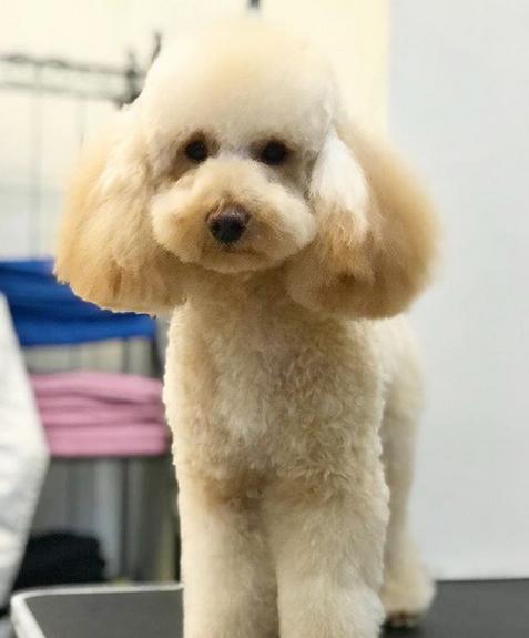Особенность шерсти пуделя (густая, мягкая, скручивающаяся в завитки) делают необходимостью постоянный уход за собакой, поэтому стрижка карликового пуделя - неотъемлемая часть ухода