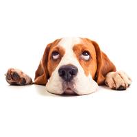 Стрижка бигля входит в процедуры груминга, делать которые необходимо регулярно. Хотя собака обладает короткой шерстью, стоит аккуратно подстригать шерсть на лапках