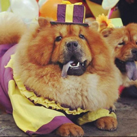 Чау-чау просто обожает детей! Эта чудная собачка считается декоративной породой