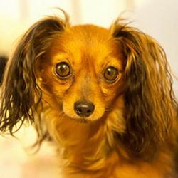 Русский той-терьер бывает короткошерстным и длинношерстным, от этого зависит, какая стрижка подойдет собаке