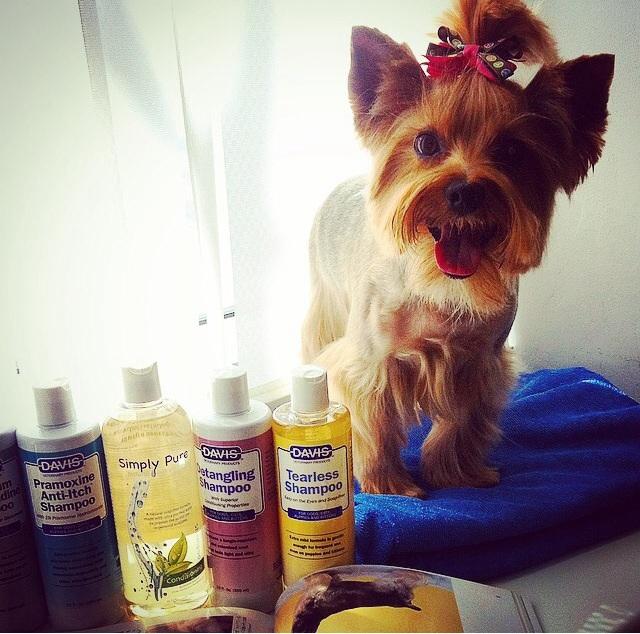 На дому стрижку собак йоркширский терьер лучше доверять профессионалам
