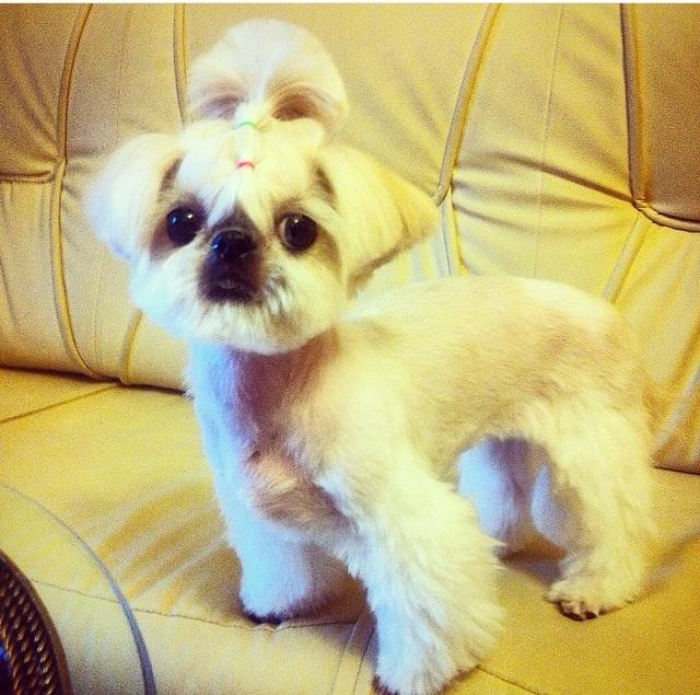 Груминг ши тцу очень важен для собачки. Он подразумевает стрижку, соответствующую выбранному стилю и уход за шерстью ши тцу