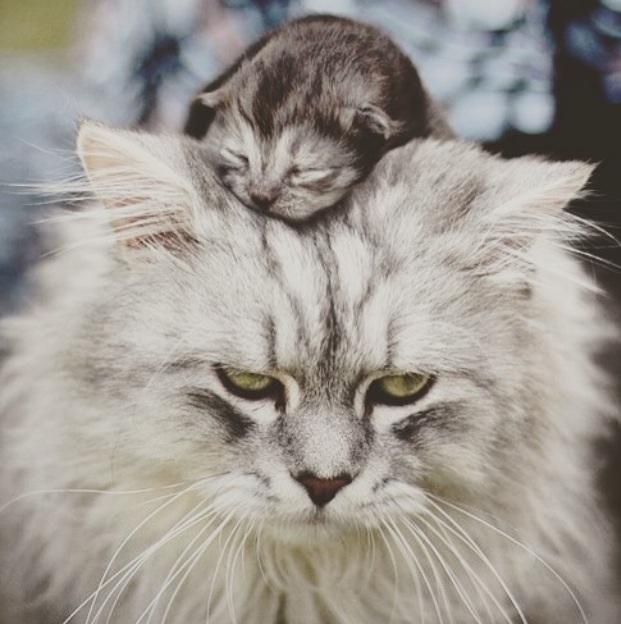 Вычесывание кошек в Москвене знает границ и помогает покорять новые вершины