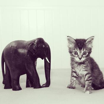 К стрижке кошку следует готовить еще котенком, приучая к пуходерке и расческе