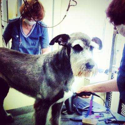 Стрижка метиса в салоне требует таких же навыков, как и стрижка породистых собак