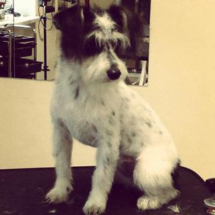 Стрижка дворняжки в салоне требует таких же навыков, как и стрижка породистых собак